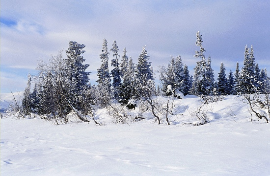 Winter in Taiga Forest
